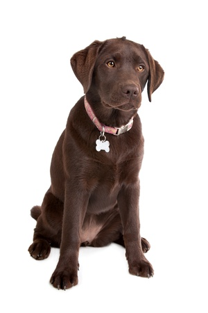 Chocolate Labrador in front of a white background Stock Photo