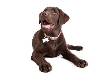 pure bred: Chocolate Labrador in front of a white background Stock Photo