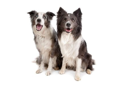 australian shepherd: Border Collie and Australian Shepherd in front of a white background