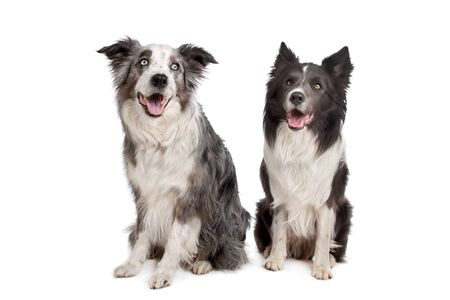 Border Collie and Australian Shepherd in front of a white background photo