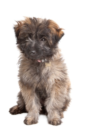 pyrenean: Pyrenean Shepherd puppy in front of a white background