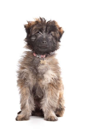 Pyrenean Shepherd puppy in front of a white background Stock Photo - 11003934
