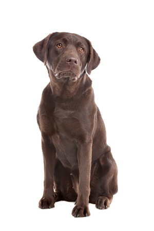 k 9: Chocolate Labrador in front of a white background Stock Photo