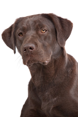 Chocolate Labrador in front of a white background photo