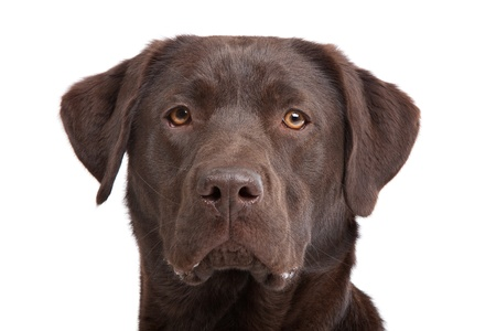 Chocolate Labrador in front of a white background Фото со стока