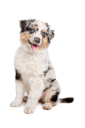 Australian Shepherd in front of a white background Stock Photo - 11003618