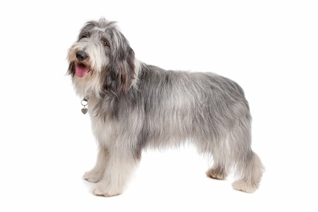 bearded collie in front of a white background Imagens - 11003879