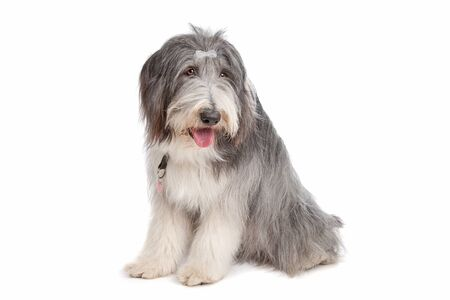 shaggy: bearded collie in front of a white background
