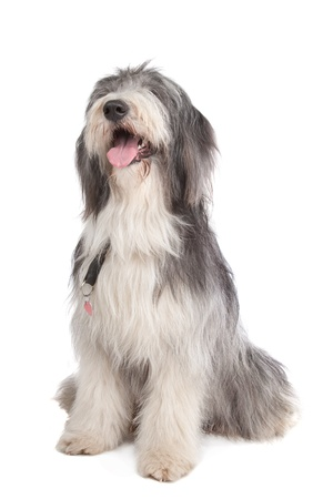 bearded collie in front of a white background Imagens - 11003942