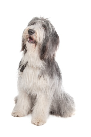gray haired: bearded collie in front of a white background