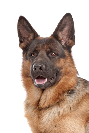 sheepdog: German shepherd in front of a white background