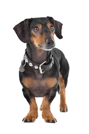 Dachshund in front of a white background photo