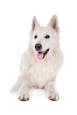 white shepherd dog: cane da pastore bianco di fronte a uno sfondo bianco