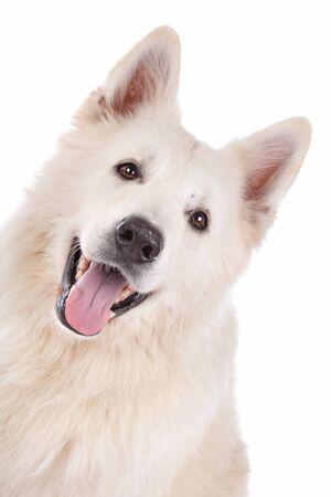 white shepherd dog: cane bianco pastore di fronte a uno sfondo bianco