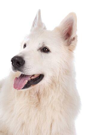 white shepherd dog: cane da pastore bianco davanti a uno sfondo bianco Archivio Fotografico