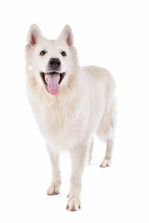 white shepherd dog: Cane pastore bianco di fronte a uno sfondo bianco Archivio Fotografico