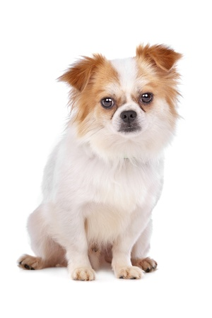 mixed breed dog in front of a white background Stock Photo - 11082340