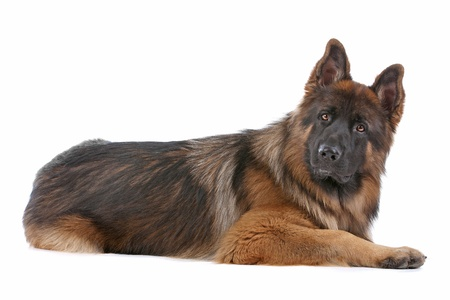 German Shepherd in front of a white background photo