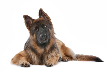 shephard: German Shepherd in front of a white background