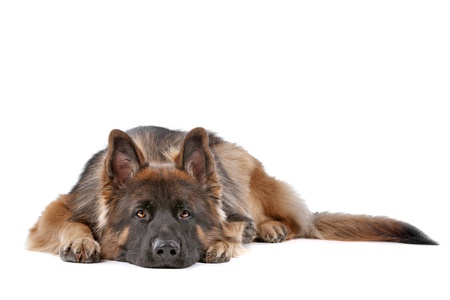 German Shepherd in front of a white background Imagens - 11082254