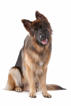 German Shepherd in front of a white background Imagens - 11082269