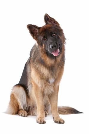 white shepherd dog: Pastore tedesco di fronte a uno sfondo bianco