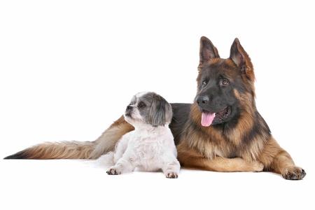 shephard: Pastore tedesco e un cane di razza mista di fronte a uno sfondo bianco Archivio Fotografico