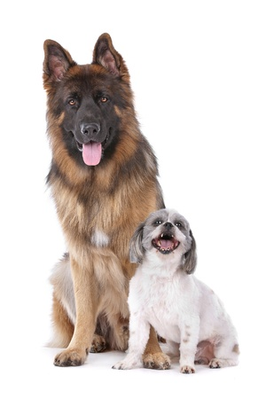 German shepherd and a mixed breed dog in front of a white background photo