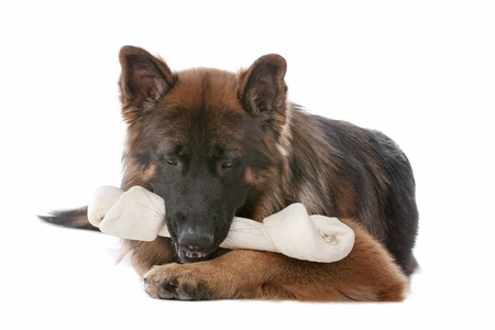 German Shepherd in front of a white background Stock Photo - 11082276