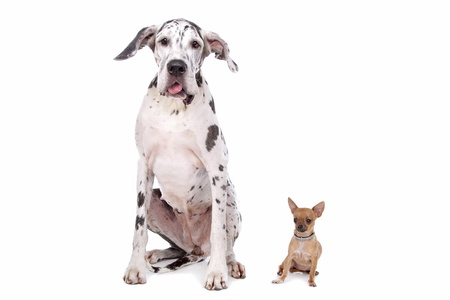great dane harlequin: great dane harlequin and a Chihuahua in front of a white background
