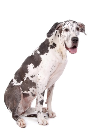 great dane: great dane harlequin in front of a white background Stock Photo