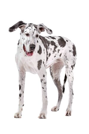 great dane harlequin in front of a white background photo