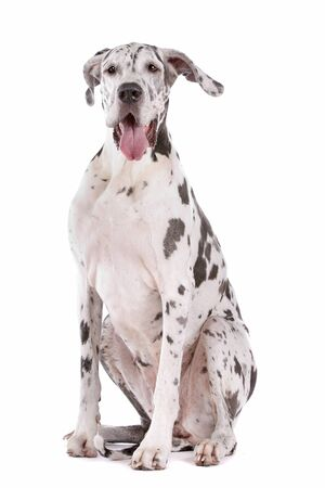 great dane harlequin in front of a white background Stock Photo - 11082307