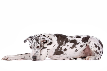 great dane harlequin: great dane harlequin in front of a white background Stock Photo