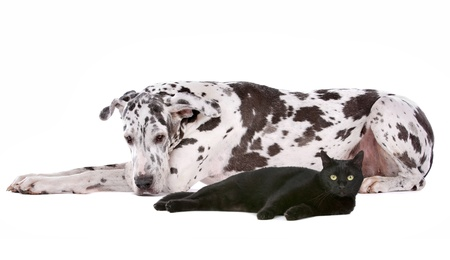 great dane harlequin: dog and a cat in front of a white background Stock Photo