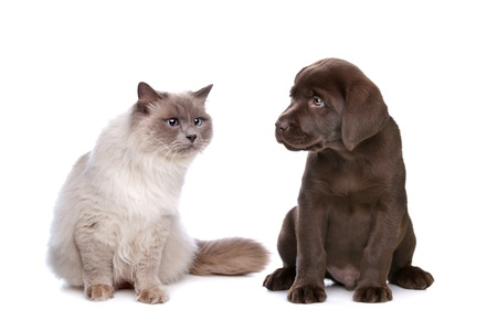 a purebred cat and a chocolate Labrador puppy in front of a white background
