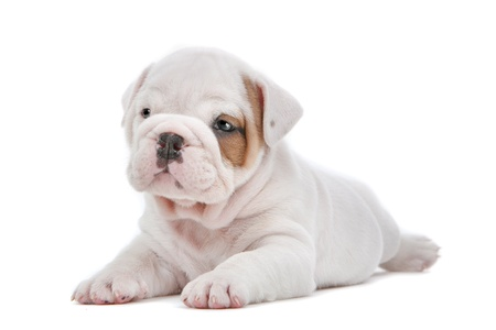 english bulldog puppy: English Bulldog puppy in front of a white background