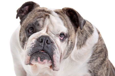 molosse: English Bulldog in front of a white background Stock Photo