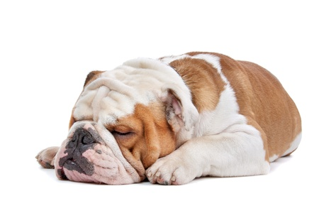 lovable: English Bulldog in front of a white background Stock Photo