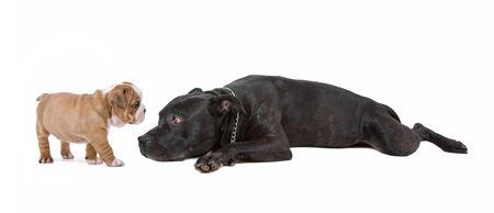 obediencia: cachorro y perro delante de un fondo blanco