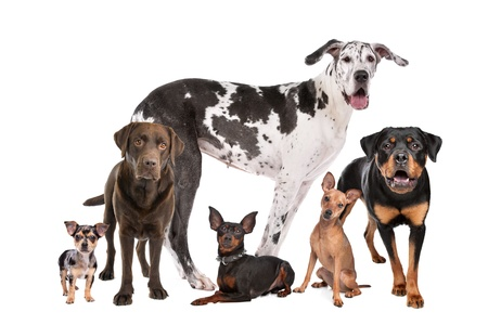 medium shot: large group of dogs  in front of a white background Stock Photo