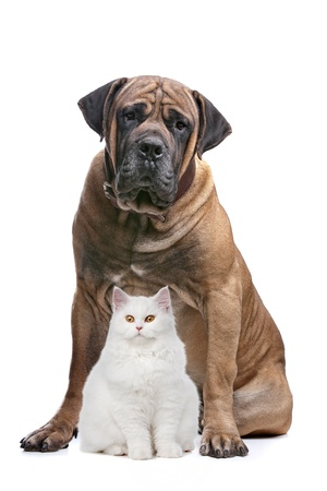 a white cat and a big dog in front of a white background