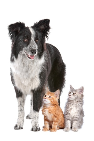 Border collie sheepdog standing  next to two kittens.