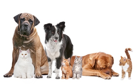 boerboel dog: Group of Cats and Dogs in front of a white background
