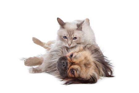 kampfhund: Hund und Katze vor einem weißen Hintergrund
