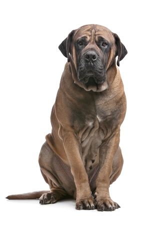 boerboel dog: Boerboel in front of a white background Stock Photo