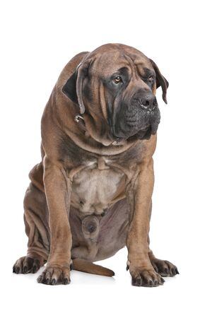 south african: Boerboel in front of a white background Stock Photo