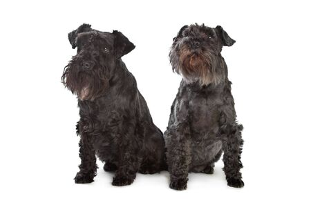 pure breed: two miniature schnautzer dogs in front of a white background Stock Photo