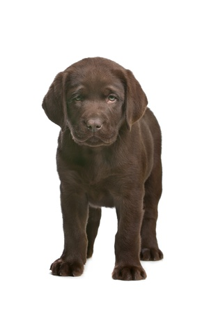 chocolate Labrador puppy in front of a white background photo