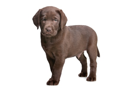 chocolate Labrador puppy in front of a white background Imagens - 11978948